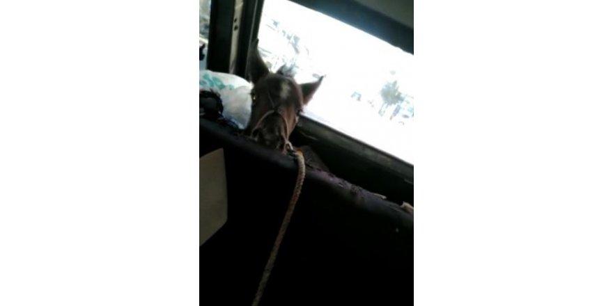 Tayın otomobille yolcuğu görenleri gülümsetti