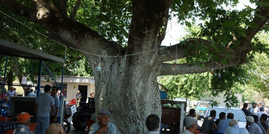 Üç asırlık çınar ağacının gölgesinde serinliyorlar