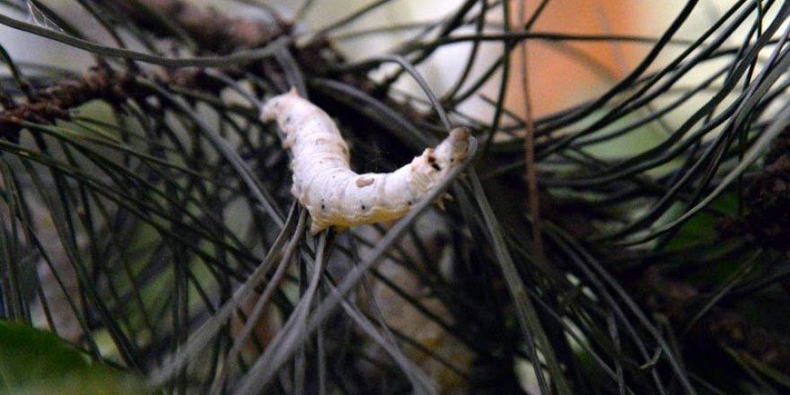 Bilecik'te ipekböcekçiliğinin yaygınlaştırılması çalışmaları