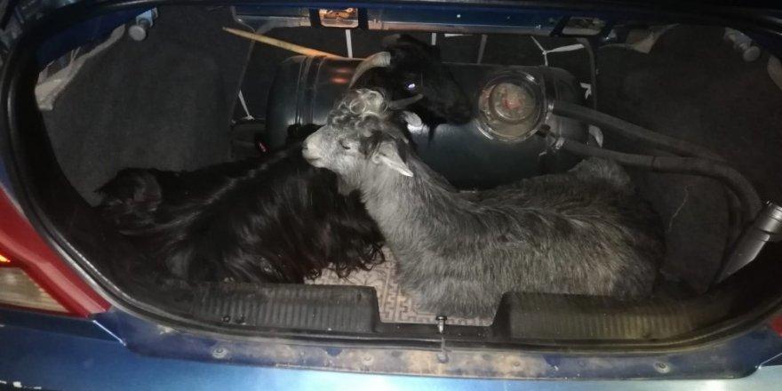 Keçileri kaçıramadan yakalandılar