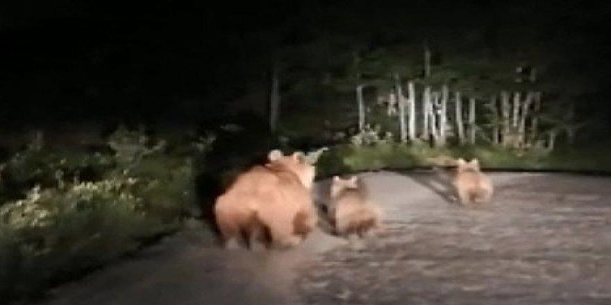 Nemrut Dağı'nda boz ayı ve yavruları görüntülendi