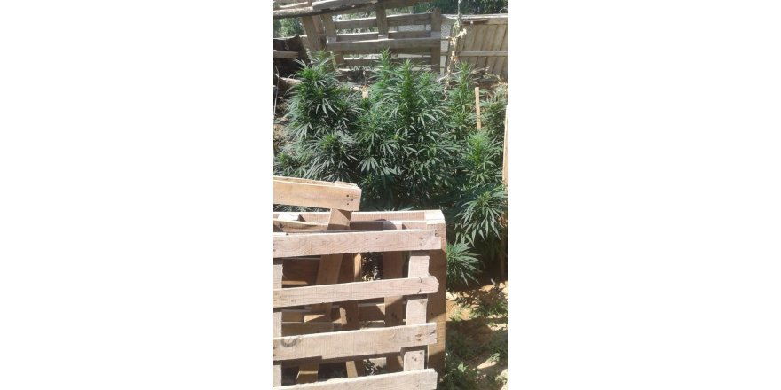 Bahçesinde Hint keneviri yetiştiren şahıs gözaltında