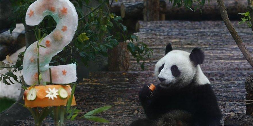 Moscow Zoo celebrates birthday of 2 giant pandas