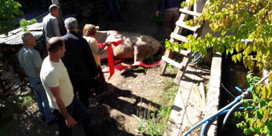 Artvin'de boş havuza düşen inek vinç yardımıyla kurtarıldı