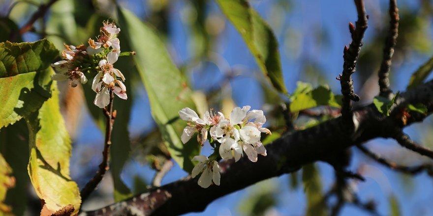 Hadim'de kiraz ağaçları çiçek açtı
