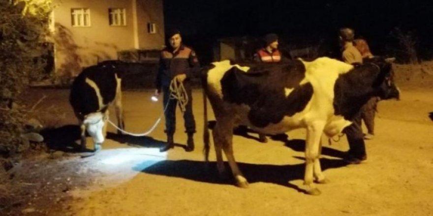 Kayıp inekleri jandarma buldu