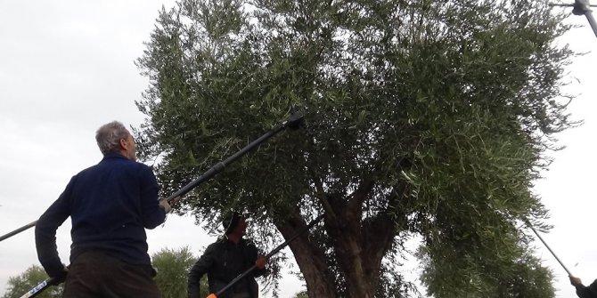 Kilis'te zeytin hasadında sona gelindi