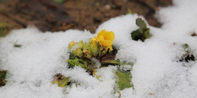 Hadim'de kardelen ve çiğdemler erken çiçek açtı