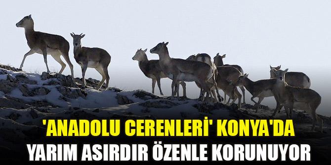 'Anadolu cerenleri' Konya'da yarım asırdır özenle korunuyor