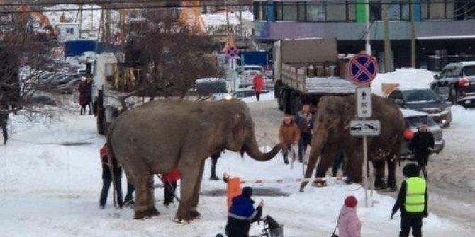 Rusya'da sirkten kaçan filler ortalığı birbirine kattı