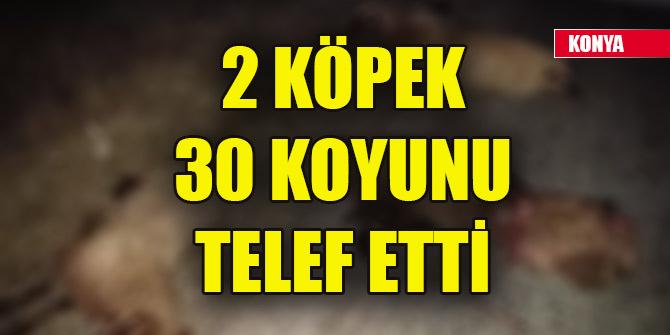 Konya'da 2 köpek 30 koyunu telef etti