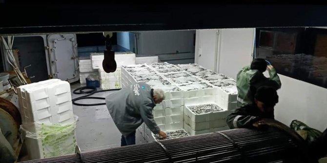 100 ton 'hamsi' avladılar