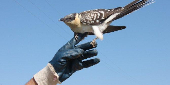 Tepeli guguk kuşu cama çarpıp yaralandı