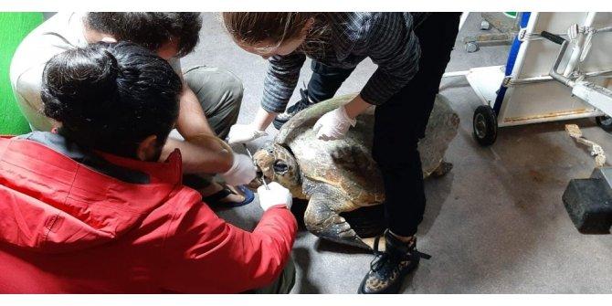 Deniz kaplumbağası hayata döndürüldü ile ilgili görsel sonucu