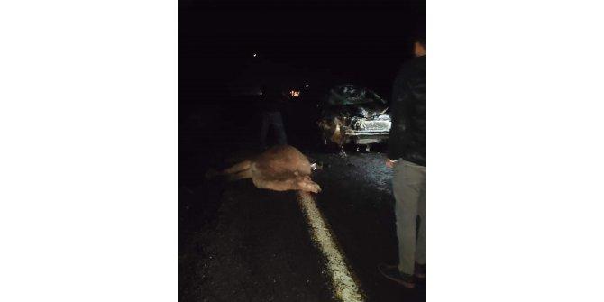 Otomobil deve sürüsünün arasına daldı: 4 deve telef oldu