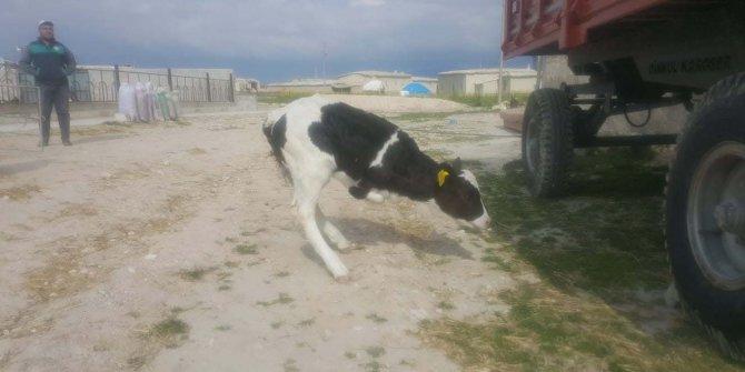 Konya'da Holstein cinsi inek iki ayaklı buzağı doğurdu