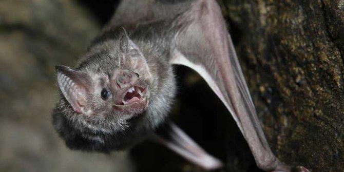 Virüs taşıyan yarasaların neden hastalanmadığı açıklandı
