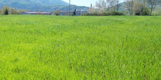 Karakılçık buğdayı Atakum'da yeniden hayat buluyor