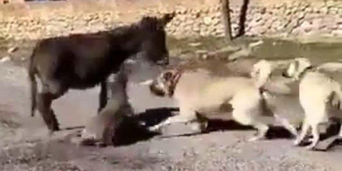 """Çoban köpeklerini sıpaya saldırtan genç: """"Köpeklerin saldıracağını düşünemedim"""""""