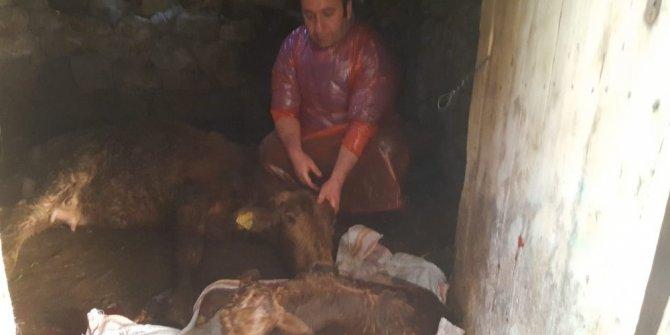 Doğum yapamayan ineğin imdadına veteriner hekim yetişti