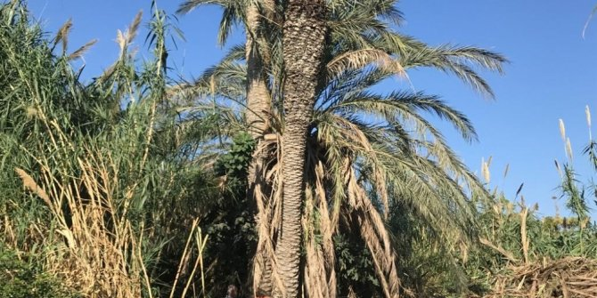 Yenişehir'de palmiye kırmızı böceği tespit edilen ağaçlar imha edildi