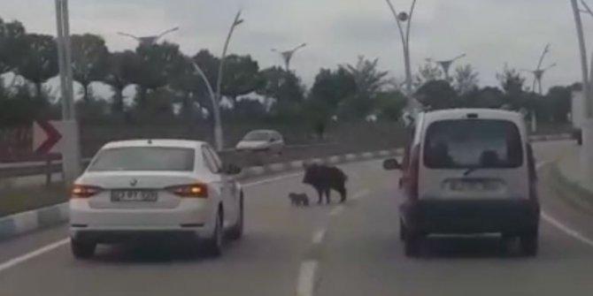 Karayoluna inen anne domuzun yavrularını koruma çabası