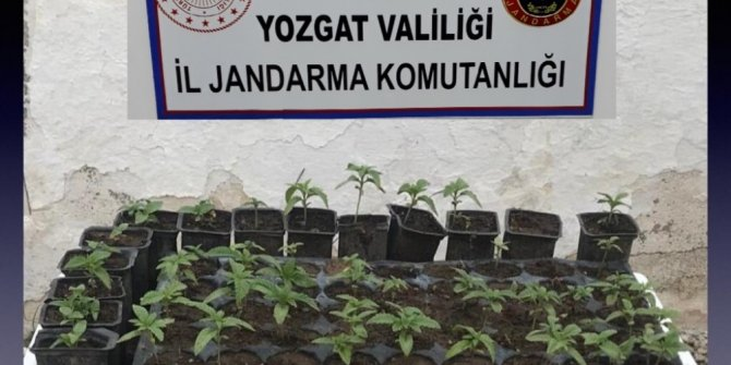 Yozgat'ta 72 kök hint keneviri ele geçirildi