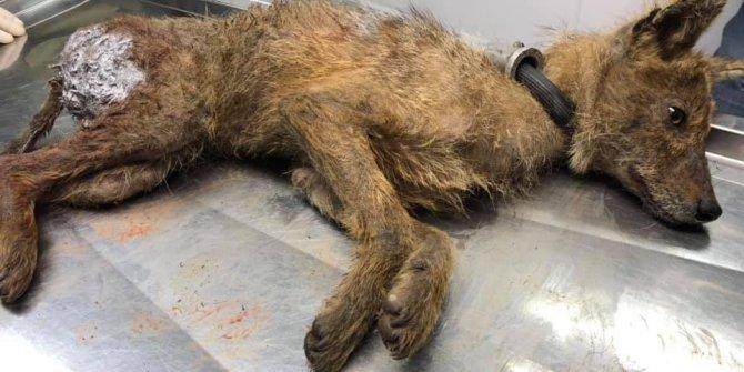 Köpeklerin yaraladığı yavru çakal tedavisinin ardından yeniden doğaya salındı