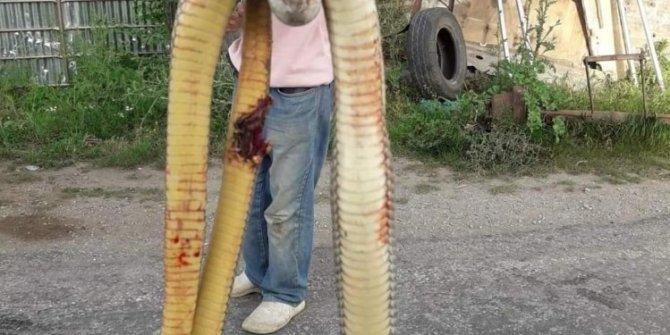 Torunlarına saldıran dev yılanı tüfekle öldürdü