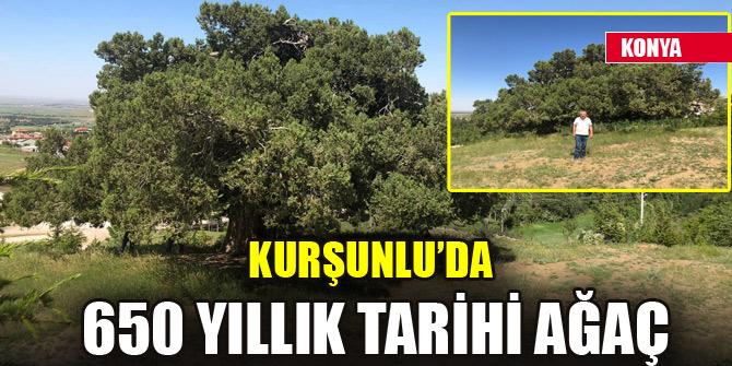 Kurşunlu'da 650 yıllık tarihi ağaç