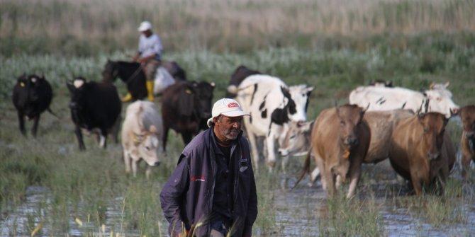 Baba oğul çoban, göl kıyısında sürüleri atla yönetiyor