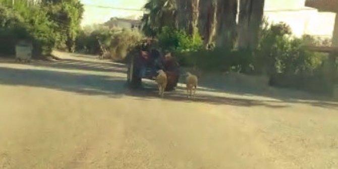 Kurbanlık koyunlara traktörlü eziyet