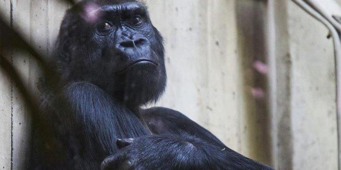 Uganda'da goril öldüren kişiye 11 yıl hapis