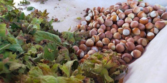 Serbest piyasada taze yaş fındık 15 liradan satılıyor