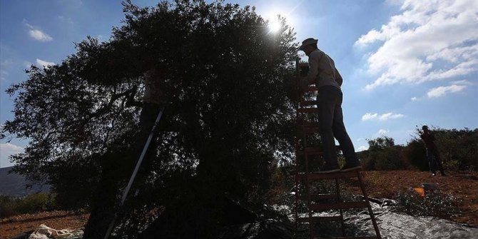 Tentara Israel larang warga Palestina panen zaitun