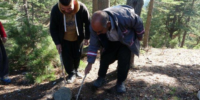 Toros Dağı eteklerinden toplanan sedir mantarı ihraç ediliyor
