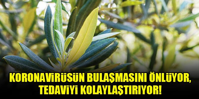 Zeytin yaprağı, koronavirüsün bulaşmasını önlüyor, tedaviyi kolaylaştırıyor!
