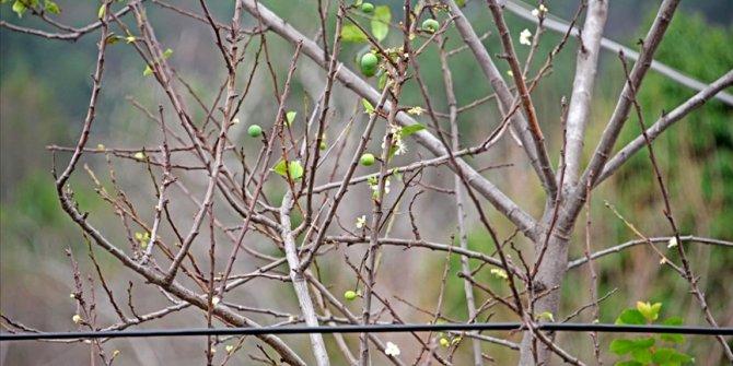 'Zemheri'de erik ağacı meyve verdi