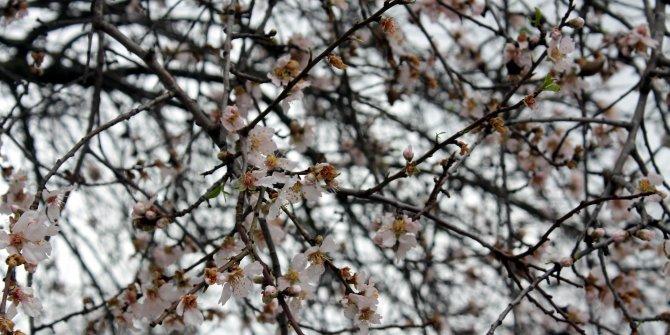 Badem ağaçları 2 ay önce çiçek açtı