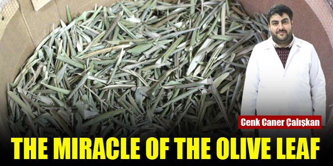 Olive leaf miracle