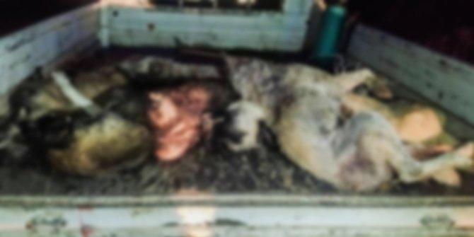 Ceylanpınar'da toplu köpek katliamı