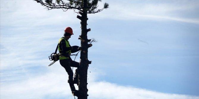 Genç fidanlar güneş alsın diye metrelerce yükseklikte ağaç buduyorlar