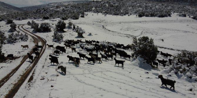 Yoğun kar zorluklarında keçilerini besliyorlar