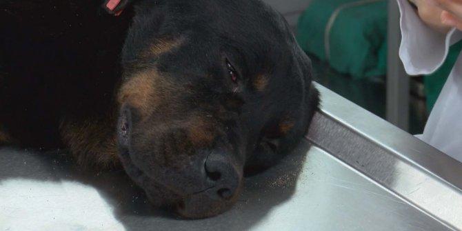 Kanlar içinde inlerken çöplükte bulunmuştu… O köpek sahiplendirildi