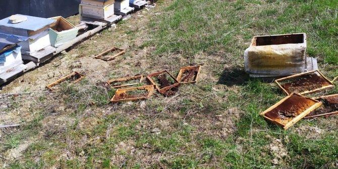 Aç kalan ayılar arı kovanlarını parçaladı
