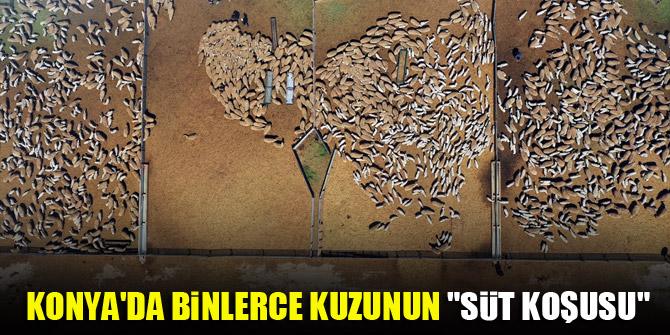"""Konya'da binlerce kuzunun """"süt koşusu"""""""