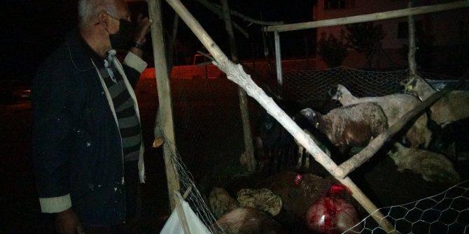 Başıboş köpekler 12 koyunu öldürdü 2'sini yaraladı