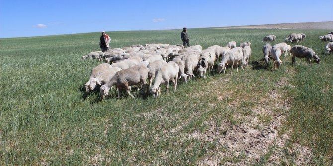 Çiftçiler, beklenen yağış gelmediği için kuruyan tarlalarda koyunlarını otlatıyor