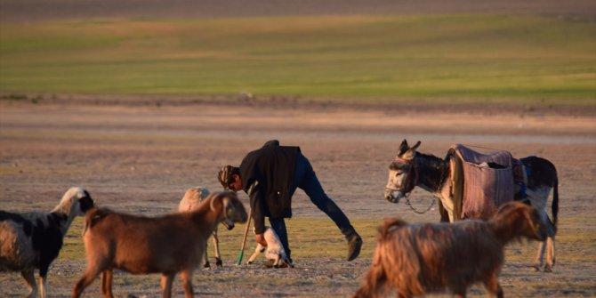 İkinci kuzu doğumunun başladığı Konya'da, yavrularken zorlanan koyunun yardımına çoban yetişti