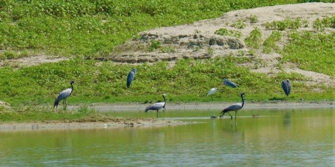 Ak pelikanlar göç hazırlığına kanat çırpıyor